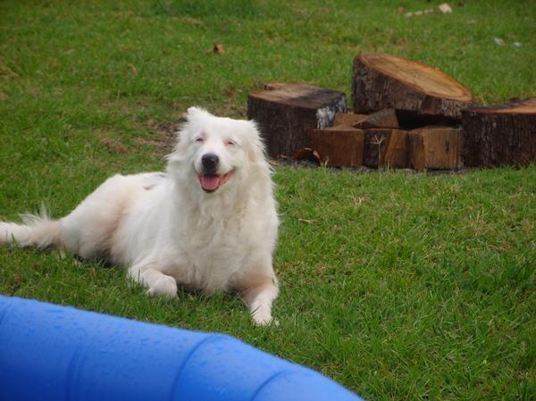 Albino Australian Shepherd